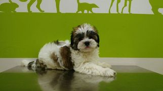 Chinese Crested Puppy For Sale in HOLLYWOOD, FL, USA