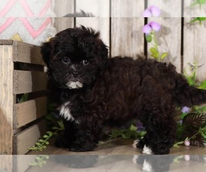 Medium Shih-Poo