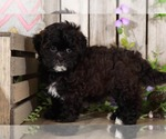 Small Shih-Poo