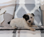 Small #1 Fox Terrier (Smooth)-Poodle (Miniature) Mix