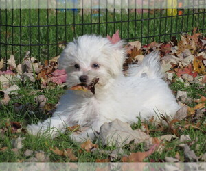 Maltese Dog for Adoption in SHILOH, Ohio USA