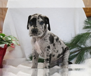 Great Dane Puppy for sale in SHILOH, OH, USA