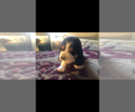 Small Photo #4 Basset Hound Puppy For Sale in DALTON, GA, USA