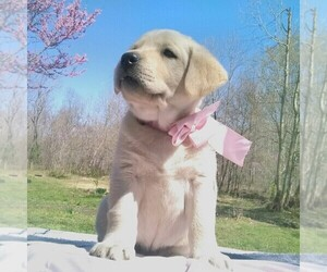 Labrador Retriever Puppy for sale in LINDEN, TN, USA