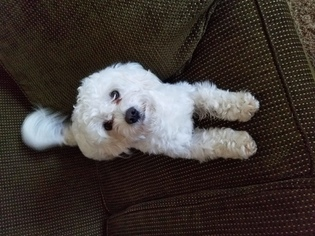 View Ad Maltipoo Puppy For Sale North Carolina Mount Olive Usa
