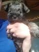 Schnauzer (Miniature) Puppy For Sale in LAWRENCEVILLE, Georgia,