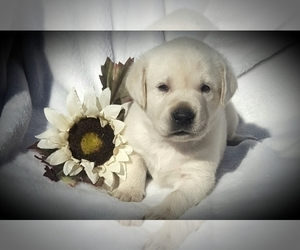 Labrador Retriever Puppy for Sale in FOUNTAIN, Colorado USA
