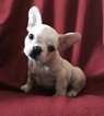 French Bulldog Puppy For Sale in ORLANDO, FL