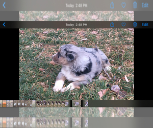 Australian Shepherd Puppy for sale in LOMA, CO, USA