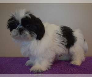 Shih Tzu Puppy for sale in DOWNING, MO, USA