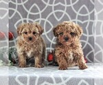 Small Photo #2 Cavachon-Poodle (Miniature) Mix Puppy For Sale in GORDONVILLE, PA, USA