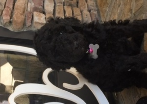 Poodle (Standard) Puppy For Sale in SALEM, SC