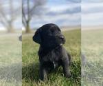 Small Bernese Mountain Dog-Labrador Retriever Mix