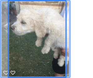 Goldendoodle Puppy for sale in SCOTTSDALE, AZ, USA