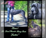 Small Photo #3 Great Dane Puppy For Sale in OCALA, FL, USA