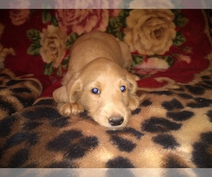 Labradoodle Puppy for Sale in MOMEYER, North Carolina USA
