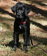One and a half Year Old Lab Mix Available
