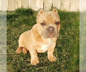 American Bully Puppy for sale in PASCO, WA, USA
