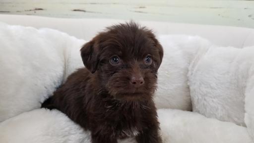View Ad: Malchi-Maltese Mix Puppy for Sale near California ...