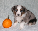 Puppy 8 Miniature American Shepherd