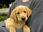 Labrador Retriever Puppy For Sale in SACRED HEART, MN, USA