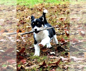 Cowboy Corgi Puppy for Sale in SUMMERVILLE, Georgia USA