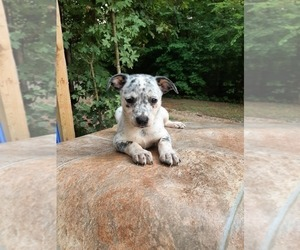 Australian Cattle Dog-Mountain Cur Mix Puppy for sale in CARTHAGE, TX, USA