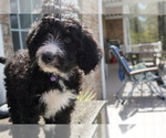Small Photo #1 Bernedoodle Puppy For Sale in DUNDEE, OH, USA
