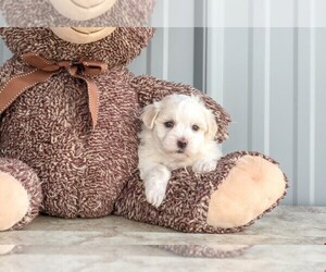 Maltese Puppy for sale in AMITY, NC, USA