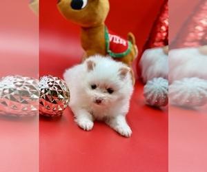 Biewer Terrier Puppy for Sale in STKN, California USA