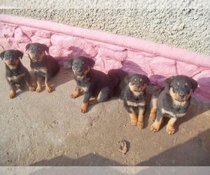 Labrador Retriever Dogs for adoption in PARKLAND, WA, USA