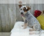 Small #5 Australian Cattle Dog
