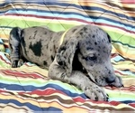 Puppy 11 Great Dane