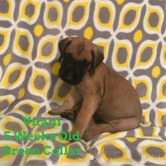 Great Dane Puppy For Sale in PORT SAINT LUCIE, FL
