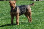 Airedale Terrier Puppy For Sale in APPLE GROVE, WV