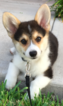 Pembroke Welsh Corgi Puppy For Sale in MISSION, TX,