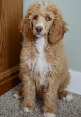 Poodle (Standard) Puppy For Sale in CHEYENNE, WY, USA