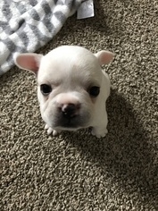 Puppies for sale 77070