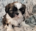 Shih Tzu Puppy For Sale in OLYMPIA, WA, USA