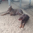 Doberman Pinscher Puppy For Sale in TYLER, TX, USA