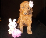 Puppy 2 Poodle (Standard)