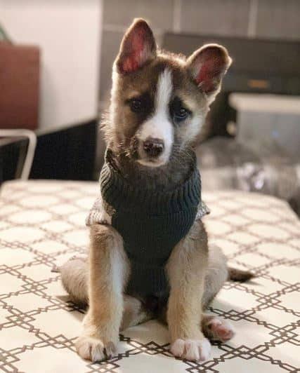 Australian Shepherd-German Shepherd Dog Mix dog