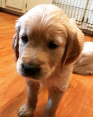 Golden Retriever Puppy For Sale in CHARLOTTE, NC, USA
