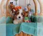Puppy 3 Bernedoodle-Goldendoodle Mix