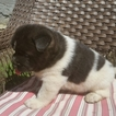 Akita Puppy For Sale in FRESNO, OH