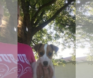Jack Russell Terrier Puppy for Sale in SASAKWA, Oklahoma USA