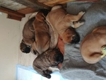 Doubull-Mastiff Puppy For Sale in CONCRETE, WA, USA