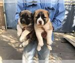 Small #10 Central Asian Shepherd Dog