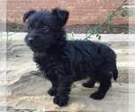 Small #1 Poodle (Miniature) Mix