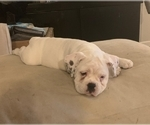 Small #5 Miniature Bulldog